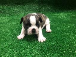 Oportunidade com Segurança Bulldog Filhotes