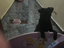 Pug femea black Disponível