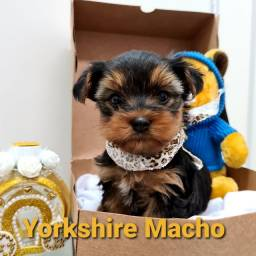 Yorkshire Terrier macho e fêmea