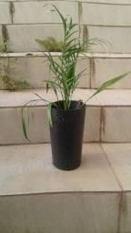 Muda pequena de palmeira Fênix Poenix árvore