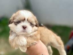 Fofíssimo baby de Shih tzu com pedigree