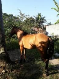 Vendo cavalo da Raça Mangolino. Facilito pagamento!!!