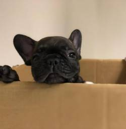 Vendo filhote Bulldog francês