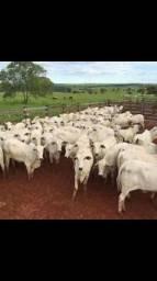Compro vacas nelore