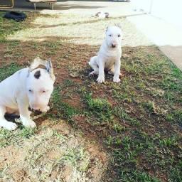 Bull terrier femeas