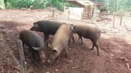 Porcas / leitoa