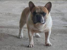 Bulldog frances bluefaw