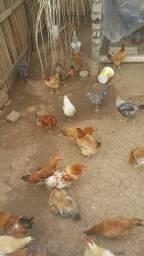 Temos galinha caipira