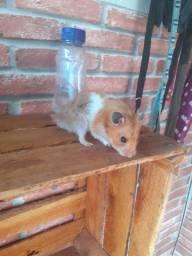 Doação de hamster airio macho
