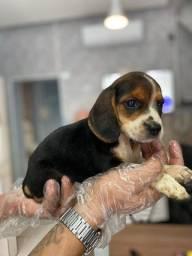 Beagle - Filhote com pedigree
