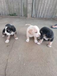 Filhote de Beagle.