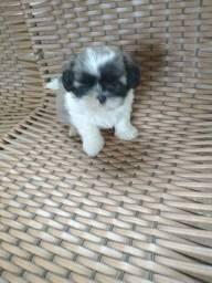 Vendo filhote mini Shitzu