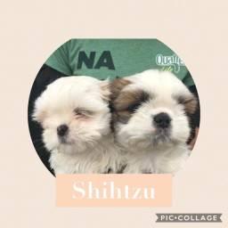 Shihtzu com pedigree e microchip em até 18x