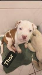 Título do anúncio: Filhote de pitbull