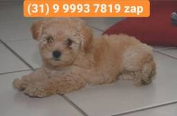 Título do anúncio: Lindos filhotes poodle, machos e fêmeas disponíveis