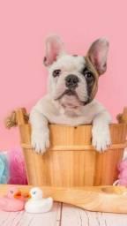 Título do anúncio: Filhotes lindos de bulldog francês entregamos
