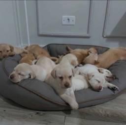 Doa-se Filhotes de Labrador Retriever.