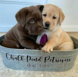 Título do anúncio: Filhotes de Labrador