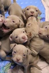 Pitbull red nose/ black/ blue, machos e fêmeas padrão gigante,  11  * Lauany