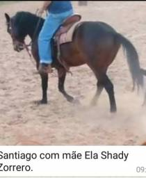 Cavalo castrado bem domado
