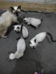 Fiotes de gatos, siamês