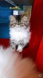 Título do anúncio: Gatil Belas da serra (Gato Persa macho com pedigree)