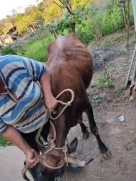 Título do anúncio: Vendo vaca para engorda