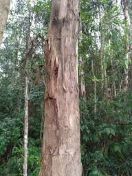Vendo eucalipto de reflorestamento em Reserva