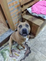 Cachorro Amstaff