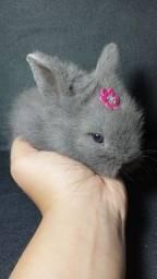 Título do anúncio: Mini Lion coelho