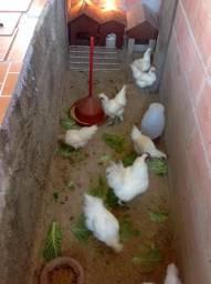 Galinhas e frangos Japonesas de raça pura Celosa!