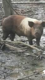 Vendo porco ele e reprodutor