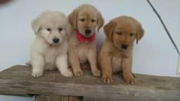 Tenho lindos filhotes de Golden