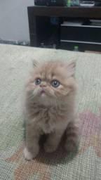 Gato persa macho show