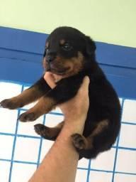 Rottweiler - fofos lindos e com pedigree