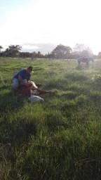 Vendo égua crioula