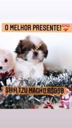 Super promoção!Shih Tzu Macho belíssimo! R$990