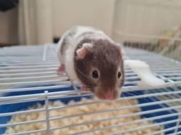 Hamsters (filhotes mansos recém desmamados)
