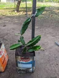 Mudas de Pitaya Já com fruto ! Produzindo !!
