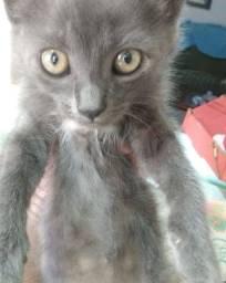 Procuro gato cinza para adotar