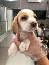 Beagle Bicolor e Tricolor, todos com garantia total de saúde em contrato