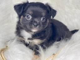 Pequenino baby de Chihuahua Pelo Longo com Pedigree