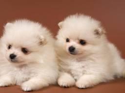 Filhotes de Lulu da Pomerania