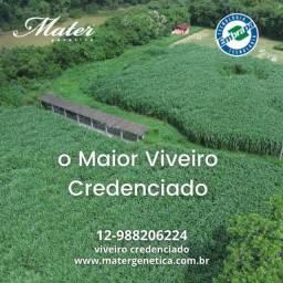 Título do anúncio: MUDAS BRS CAPIAÇU