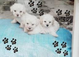 Filhotes poodle branco em Rondonópolis