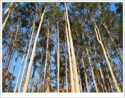 Título do anúncio: Vendo área com floresta de eucalipto