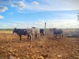 Lote com Vacas e Novilhas