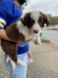 Border Collie - O mais inteligente dos filhotes esperando por você e sua familia