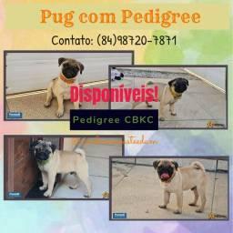 Pug abricot com pedigree CBKC oficial! Excelente linhagem e padrão! Criação especializada!