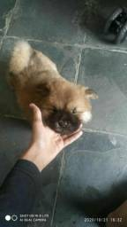 Cachorro chowchow